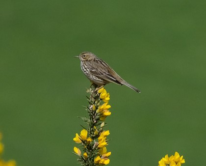 Exmoor bird id birdwatching Exmoor Identify moorland birds on Exmoor