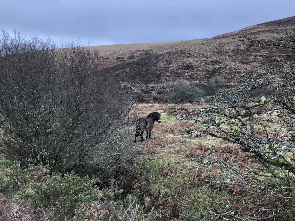 Exmoor pony, Doone Valley