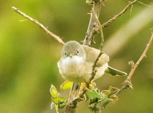 Amano's photo of a whitethroat