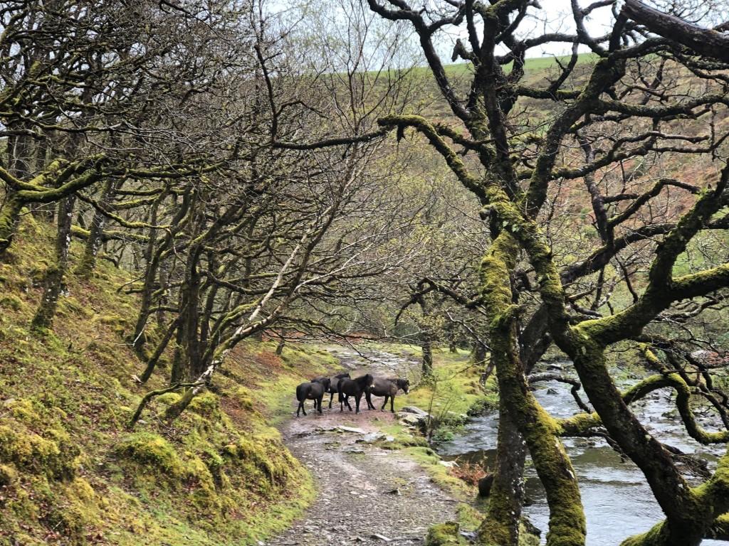 Doone valley exmoor ponies