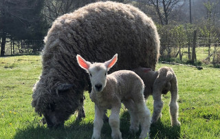 Easter lambs born yesterday