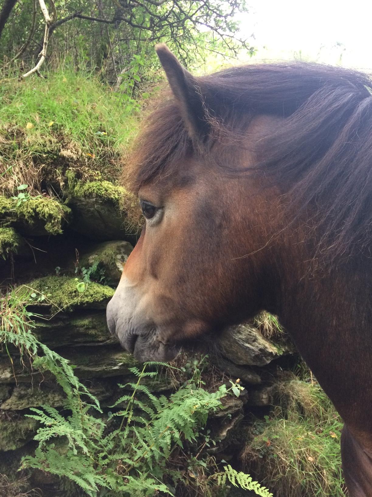 exmoor pony head