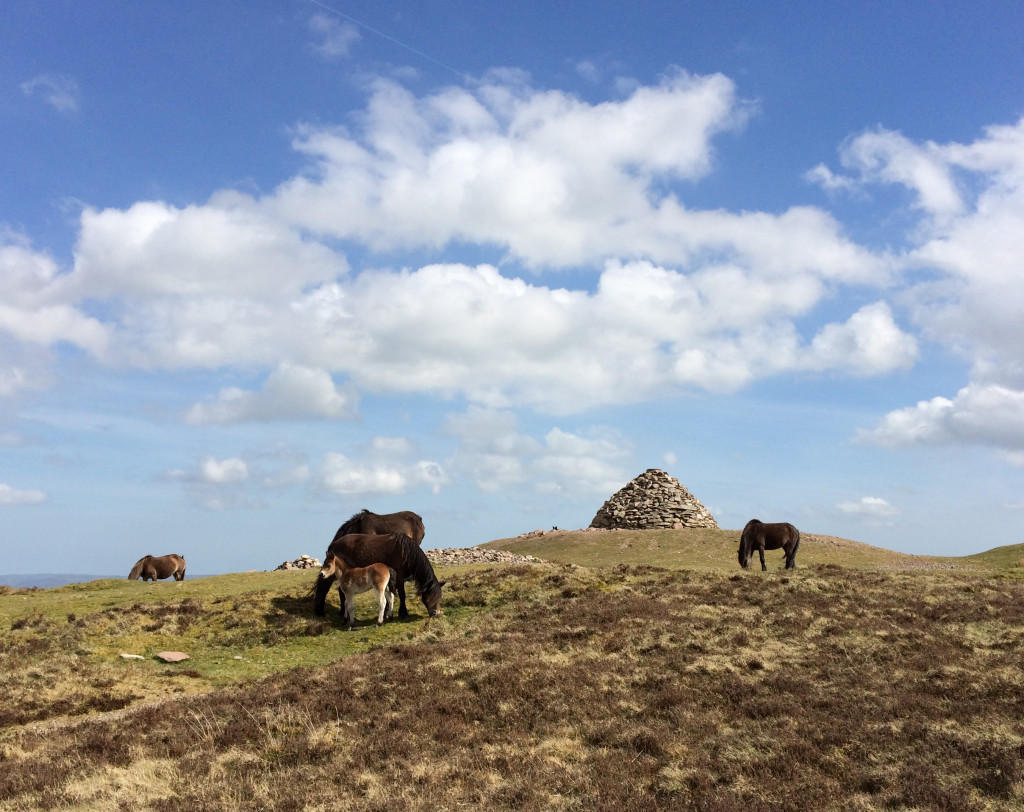 exmoor ponies at Dunkery Beacon