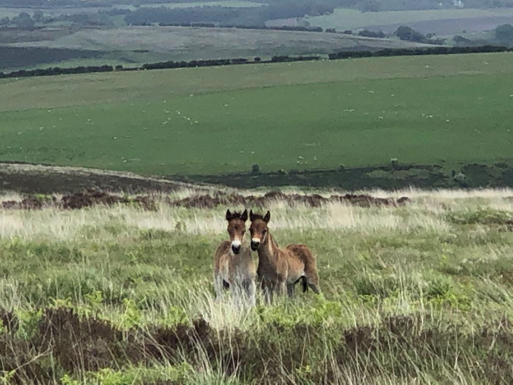 exmoor pony foals